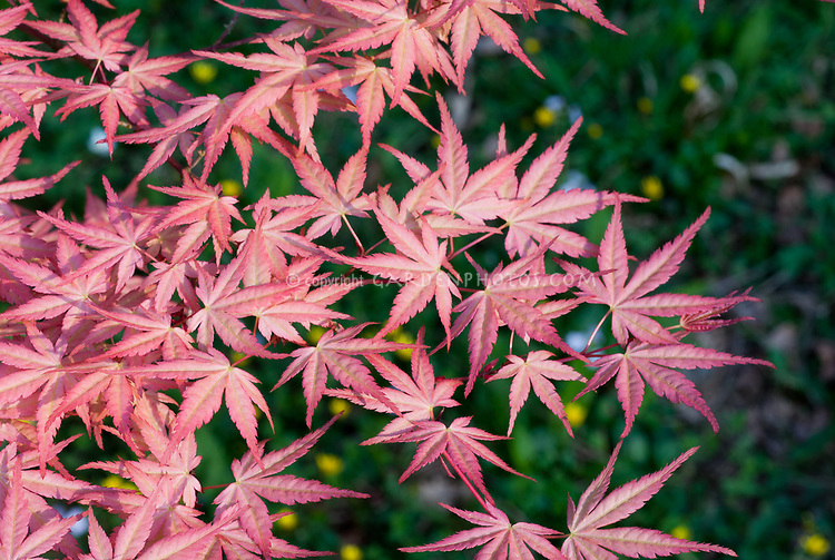 Acer Palmatum Beni Tsukasa In Spring Foliage Plant Flower Stock
