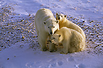 A polar bear mother stands by her two cubs resting in the snow in Churchill, Manitoba, Canada.