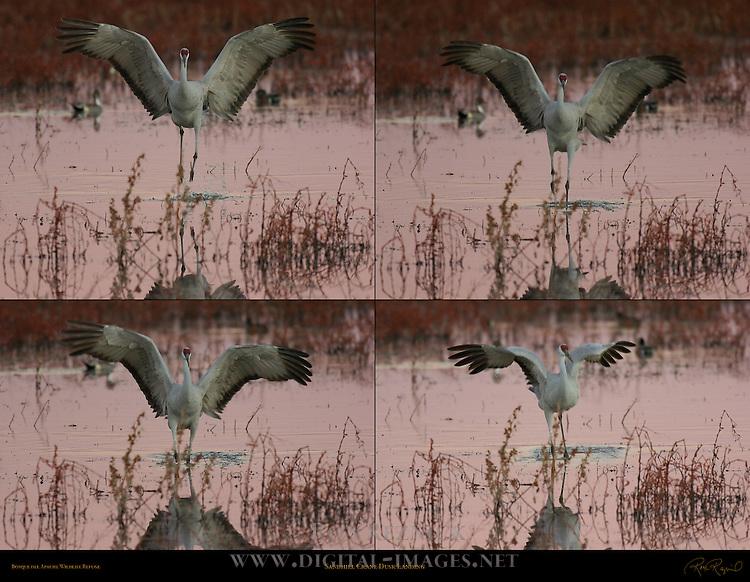 © 2004 -- Ron Reznick.http://www.digital-images.net..[#Beginning of Shooting Data Section].Nikon D2H..Focal Length: 500mm..Optimize Image: ..Color Mode: Mode II (Adobe RGB)..Noise Reduction: OFF..2004/12/15 17:04:49.1..Exposure Mode: Aperture Priority..White Balance: Color Temp. (7700 K) ..Tone Comp: Less Contrast..RAW (12-bit) ..Metering Mode: Multi-Pattern..AF Mode: AF-C..Hue Adjustment: 0°..Image Size:  Large (2464 x 1632)..1/160 sec - F/4..Flash Sync Mode: Not Attached..Saturation: ..Exposure Comp.: -0.7 EV..Sharpening: Normal..Lens: 500mm F/4 D..Sensitivity: ISO 400..Image Comment:                                     ..[#End of Shooting Data Section].