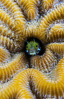 TR70987-D. Secretary Blenny (Acanthemblemaria maria), tiny 1 inch long fish with attitude, peering out of hole in the middle of brain coral, occasionally darts quickly out of hole to gulp floating food particles. Cayman Islands, Caribbean Sea.<br /> Photo Copyright &copy; Brandon Cole. All rights reserved worldwide.  www.brandoncole.com