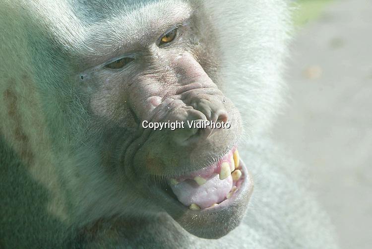 Foto: VidiPhoto..AMERSFOORT - Glazen kooien blijken een enorm succes in de Nederlandse dierentuinen. Vooral voor rolstoelgebruikers en kinderen in kinderwagens is het glas een uitkomst. Omdat de indruk wordt gewekt dat dieren los lopen, vervangen steeds meer parken de tralies en kooien door glaswanden van 4 centimeter dik. Dierenpark Amersfoort heeft diverse wilde-diersoorten en de bavianen al een beter uitzicht gegeven. In december zullen ook de chimpansees achter de ramen komen. Nadeel is echter dat apen snel krassen veroorzaken op de ruiten.