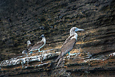 GALAPAGOS ISLANDS, ECUADOR, Isabela Island, Punta Vicente Roca, exploring the dramatic volcanic coastline, Blue Footed Boobies rest on the rocks
