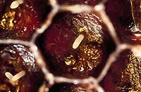 Honigbiene, Ei, Eier, Entwicklung, Entwicklungsreihe in den Waben, Nest, Honig-Biene, Biene, Bienen, Honigbienen, Apis mellifera, Apis mellifica, honey bee, hive bee, bees