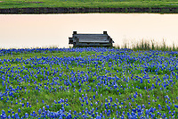 The Texas bluebonnets lead up to the waters edge with pier on this pond at this working ranch around dusk.  The rancher farmer came by and waved as we set up to take this image.  We thought it made a nice image with this water feature or tank with pier and bluebonnets up to the waters edge in the rural texas setting.