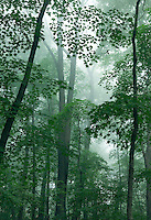 Hardwood forest in fog, Effigy Mounds National Monument, Allamakee County, Iowa