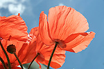 Red poppies with stems against blue sky