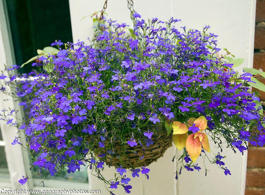 Hanging basket blue lobelia flowering plant, Suffolk, England