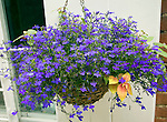 Hanging basket blue lobelia flowering plant, Suffolk, England