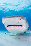 Tiger Beach, Grand Bahama Island, Bahamas; a large, female tiger shark swimming past a row of scuba divers and directly into my camera lens