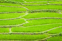 terraced rice fields, Chiang Mai Province, Thailand