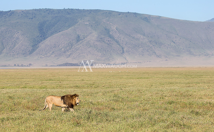 A male lion traverses the floor of the Ngorongoro Crater.