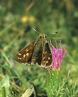 Silver-spotted Skipper Hesperia comma Wingspan 34mm. An iconic butterfly that is restricted to chalk downland. Adult recalls a Large Skipper but the dark brown upperwings have distinctive pale spots; the greenish-brown underwings have silvery-white spots after which the species is named. Flies August-September. Larva is nocturnal and feeds on grasses. Very local in southern England, and only on chalk downs.