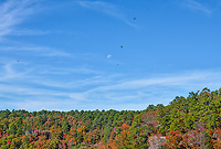 Fall Moon - Moon with fall colors in the trees with several buzzards flying in the blue sky made a nice autumn scene in the Petit Jean State Park. It is located atop Petit Jean Mountain in the area between the Ouachita Mountains and Ozark Plateaus. You can see the autumn colors in the trees of orange, reds, and greens against a backdrop of blue.