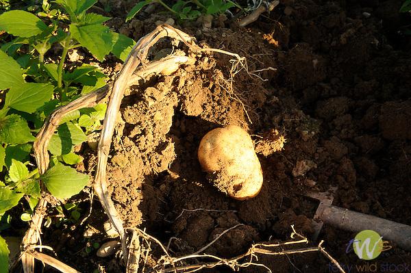 John Wheeland harvesting potatoes.
