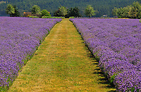 Grass path leads through the middle of a lavender field in Ebey's Landing National Historical Reserve, Whidbey Island, Washington