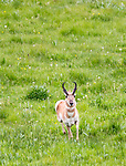 This male pronghorn antelope was pracing around in a Yellowstone meadow.