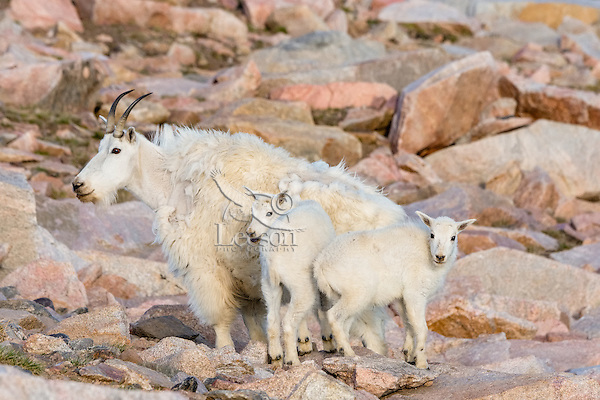"""Mountain Goat (Oreamnos americanus) nanny and kids among granite boulders in the Beartooth Mountains near the Wyoming/Montana border.  The nanny is shedding her heavy winter coat of fur to a new """"summer weight"""" fur coat which will grow long again for the next winter.  Twins are fairly uncommon among mt. goats and one of these kids probably belongs to another nanny that is outside this photo."""