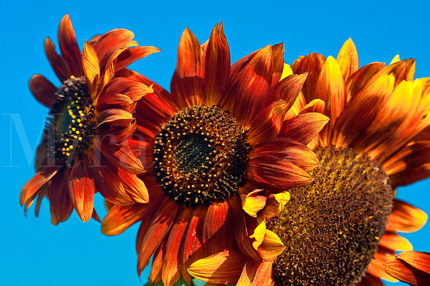 Colorful sunflowers.