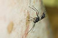 Schlupfwespe an Niströhre von Mauer-Lehmwespe (Ancistrocerus nigricornis), Weibchen sticht mit Legebohrer durch den Nestverschluss der Lehmwespe, Stenarella domator, Stenarella gladiator, ichneumon wasp, parasitic wasp, ichneumonid, female, ovipositor, Schlupfwespen, Ichneumonidae, ichneumon wasps, parasitic wasps, ichneumonids