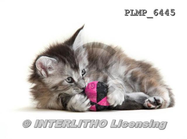 Marek, ANIMALS, REALISTISCHE TIERE, ANIMALES REALISTICOS, cats, photos+++++,PLMP6445,#a#
