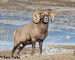 Bighorn sheep ram in rut. Park County, Montana.