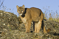 Cougar standing on an rocky outcrop - CA