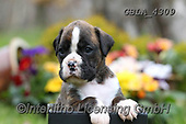 Bob, ANIMALS, REALISTISCHE TIERE, ANIMALES REALISTICOS, dogs, photos+++++,GBLA4309,#a#, EVERYDAY