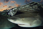 Lemon Shark, Negaprion brevirostris, Bahamas, Caribbean Sea.
