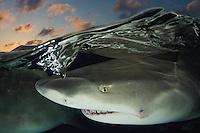 Lemon Shark, Negaprion brevirostris, Bahamas, Caribbean Sea.