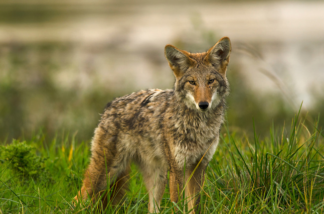 Coyote at Ridgefield National Wildlife Refuge