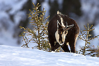 Front view of a chamois buck in the snow
