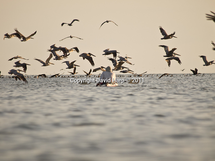 A kayaker rouses a flock of brown pelicans from their rookery on Shanks Island.