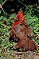 Northern Cardinal, Cardinalis cardinalis, male sunbathing, High Island, Texas, USA, April 2001