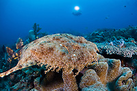 A Tasselled wobbegong, Eucrossorhinus dasypogon, swims slowly over a reef pinnacle where it searches for a place to lay down and lie-in-wait for prey. Kri, Raja Ampat, Papua, Indonesia, Pacific Ocean