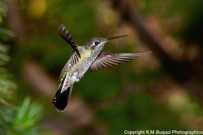Juvenile Magnificent Hummingbird in flight