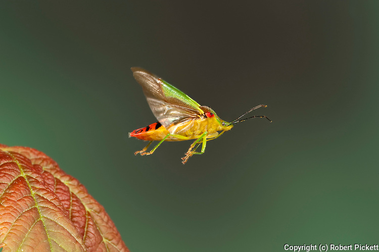 Hawthorn Shield Bug, Acanthosma haemorrhoidale, In flight, free flying, High Speed Photographic Technique.United Kingdom....