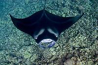 reef manta ray, Manta alfredi, Keahole Point, Kona, Big Island, Hawaii, USA, Pacific Ocean