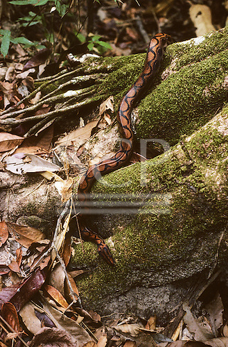 Maraca Biological Reserve, Roraima state, Brazil. Rainbow boa snake at the foot of a rainforest tree.