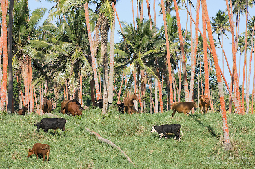 Taveuni, Fiji; Taveuni's only butcher lives on the southern end of the island and uses his cows to eat the grass under the coconut trees, so that the coconuts can be harvested after they fall, coconut palm trees grow in groves on the southern end of the island, the coconuts are harvested for their meat and the husks are burned to heat water, which creates steam, to generate electricity