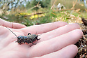 Field Cricket (Gryllus campestris) nymph being translocated to a new site in Surrey, UK. April. Classified as Vulnerable in the UK.<br /> Photographed under license.