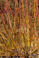 Salix alba var. vitellina 'Britzensis' in winter interest stems, yellow orange color bark