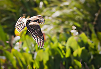 Female Northern Harrier flying low in Green Cay Wetlands in Florida over green plants