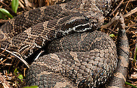 Eastern Massasauga.Sistrurus catenatus catenatus. An endangered species and the rarest snake in this state with perhaps 500 remaining at only two locations according to the estimates I've read. I had to do my homework to find this bad boy. Photographed and left to sustain his population. These animals deserve more protection than they get.