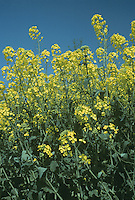 RAPE Brassica napus (Brassicaceae) Height to 1.25m<br /> Greyish green annual or biennial. Arable fields and waste ground. FLOWERS are 25-35mm across with 4 yellow petals, often overtopped by buds (Apr-Sep). FRUITS are cylindrical and 10cm long. LEAVES comprise pinnate basal leaves that soon wither and clasping stem leaves. STATUS-Widely cultivated but also casual in many places.