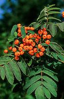 Vogelbeere, Vogel-Beere, Eberesche, Früchte, Sorbus aucuparia, Mountain Ash, Rowan