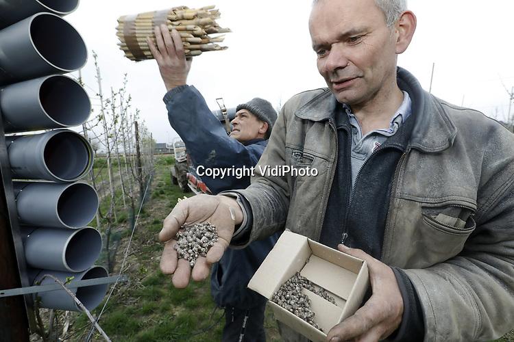 """Foto: VidiPhoto<br /> <br /> VALBURG – Als eerste fruitteler in Nederland plaatst pruimenteler Frederik Bunt (man zonder muts) donderdag in zijn 8 ha grote boomgaard in Valburg (Betuwe) op grote schaal 125 hotels voor metselbijen. In de 875 gastvrije pvc-kamers worden pakketten met rietstengels geplaatst, waarin de totaal 50.000 metselbijen hun nageslacht kunnen produceren. Dat zijn de bestuivers van volgend jaar. Ondertussen moeten ze ook de pruimenbloesems 'bevruchten'. Dit weekend komen de bomen in bloei en kruipen tegelijkertijd de bijen uit hun cocon. Voordeel van metselbijen boven gewone bijen is dat ze niet steken, meer vlieguren maken, effectiever zijn in de bestuiving en dichter bij de kas blijven. """"Als een honingbij paardenbloemen in de buurt vindt, gaat hij daar naar toe en vertelt dat ook de anderen. Metselbijen kunnen niet met elkaar communiceren."""" Omdat in Nederland proeven met metselbijen nog in de kinderschoenen staan, komen de cocons van Bunt uit het buitenland."""