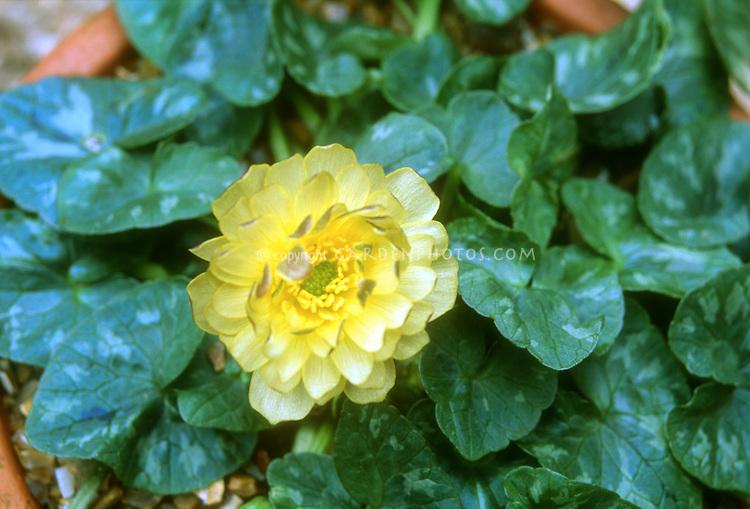 Ficaria verna Double Mud (Ranunculus)