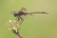 Four-spotted Pennant (Brachymesia gravida) Dragonfly - Juvenile Female, Lakes Regional Park, Fort Myers, Lee County, Florida
