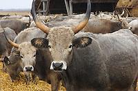 Grey Cattle, Hungary