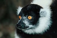 Black-and-white Ruffed Lemur (Varecia variegata), adult, Madagascar, Africa
